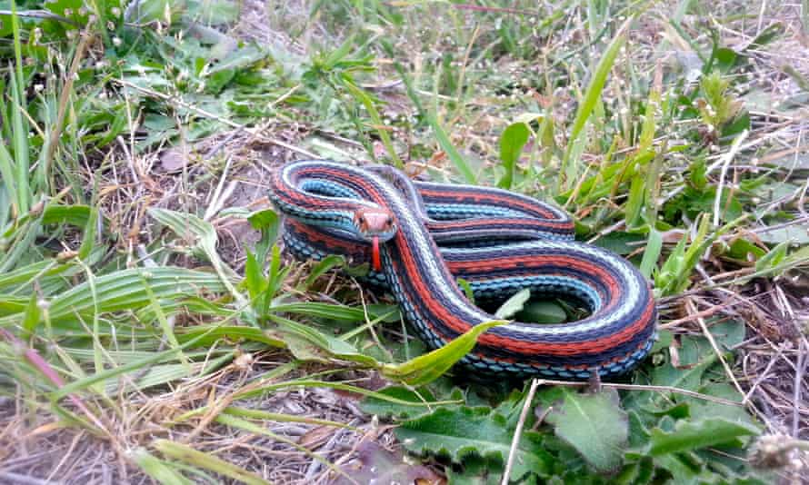 A San Francisco garter snake can grow up to 3 feet long.