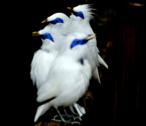 Special selection: Bali starling (Leucopsar rothschildi) critically endangered bird of Bali By Supram Hosuru Subramanya from Manipal College of Medical Sciences, Pokhara, Nepal.