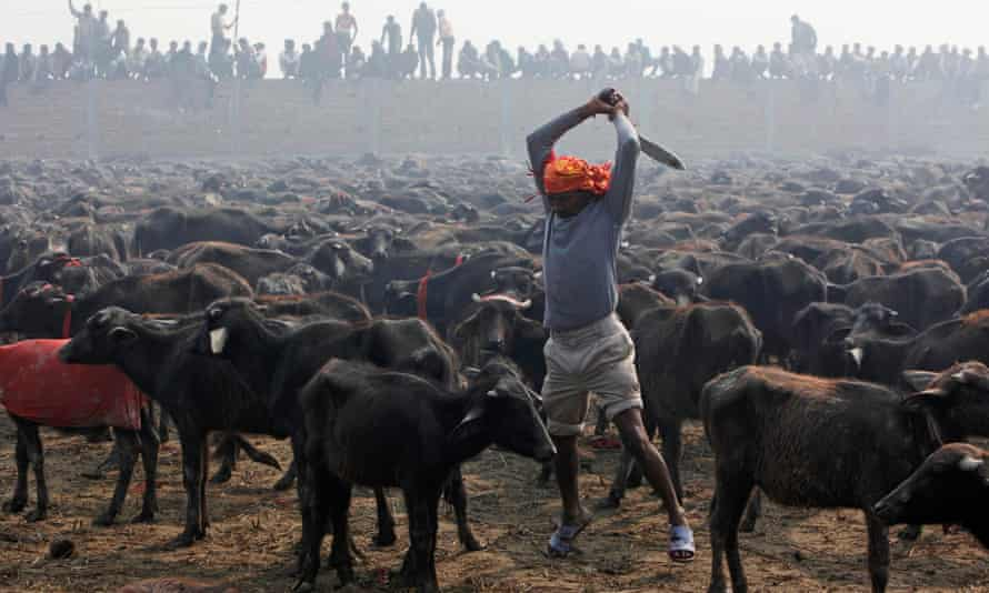 A butcher prepares to slaughter a buffalo with his knife during a mass sacrifice ceremony at Gadhimai temple in Bariyapur, Nepal, in 2009.