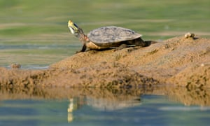 A Ganges soft-shelled turtle on the bank of the Chambal River in Madhya Pradesh