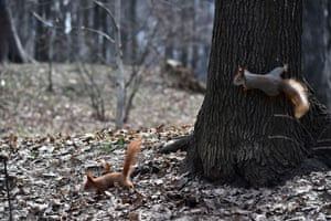 A pair of squirrels run in a park in the centre of Kiev, Ukraine, on a warm spring day.