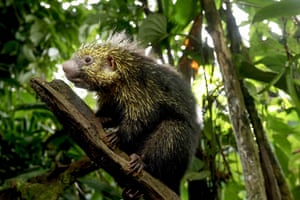 A porcupine in the forested area of Guapiles, Costa Rica.