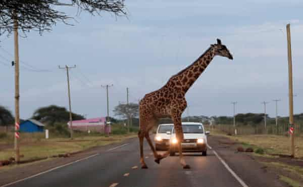 A giraffe crosses a road