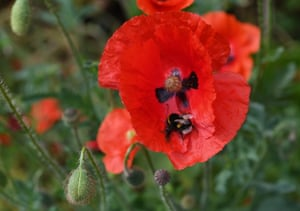 A bumblebee sits on a poppy in London, Britain
