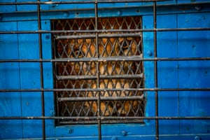 Thirteen-year-old lion Zhaku looks out from inside a transportation cage as it is loaded into a truck by animal welfare association Four Paws workers at Tirana's zoo, in Albania, as part of its transfer along with two other lions to the Felida Big Cat Center in the Netherlands. The three lions, rescued by Four Paws last October from a zoo where they were kept in deplorable conditions, will be placed in an enclosure imitating their natural habitat