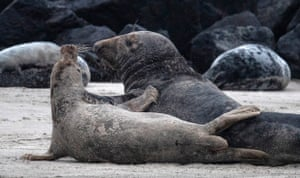 A female grey seal (front) and a male grey seal (back) on the beach on the North Sea island of Heligoland, Germany