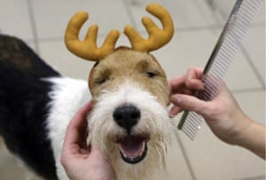A wire fox terrier gets a festive makeover in St Petersburg, Russia