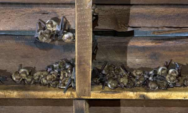 A colony of big brown bats with their young in a barn in the US.