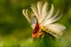 Animal behaviour category: Kris Worsley, 'Pheasant display', Nottinghamshire, England