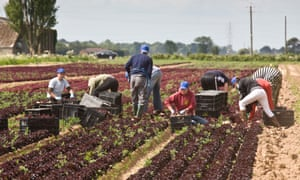 Migrant workers harvesting lettuce in the Lincolnshire Fens.