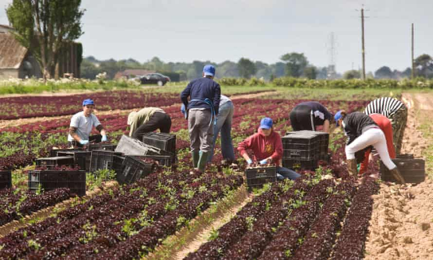 Foreign workers harvesting lettuce in Lincolnshire. The head of the CBI says a 'hard Brexit' would be 'very negative' for business.