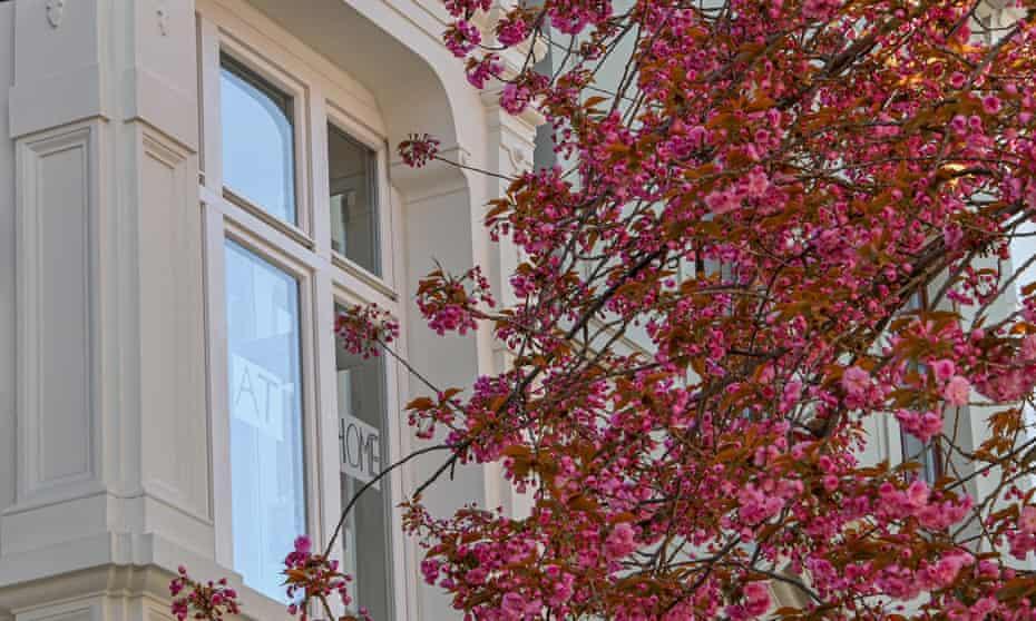 Cherry trees bloom in Bonn