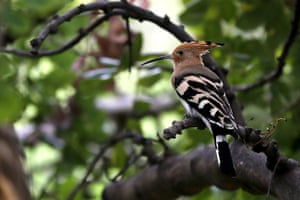 A hoopoe perches on a tree in the woods near Lebanon's northern coastal city of Byblos