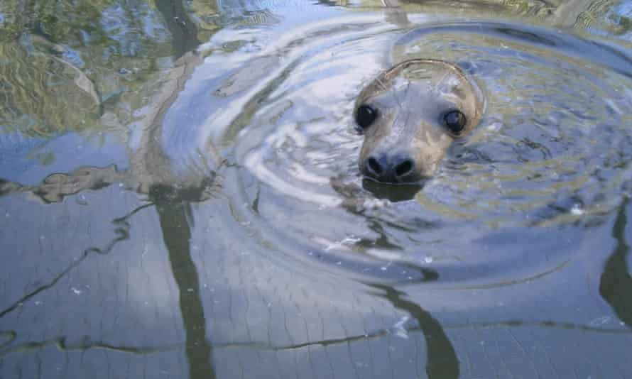 Marina the seal was rescued and rehabilitated by the RSPCA.