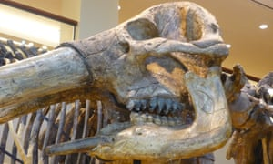 The American mastodon has a short jaw, as seen in this specimen at the Beneski Museum, Amherst College.
