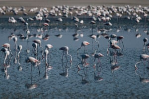 Flamingos flock on Fuente de Piedra lake, 70 kilometres from Málaga in southern Spain. The nature reserve is the most important flamingo breeding ground on the Iberian peninsula, and more than 170 other bird species have been recorded there