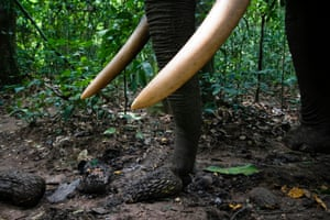 An elephant eats fruit on the forest floor in the Republic of Congo's Nouabalé-Ndoki national park
