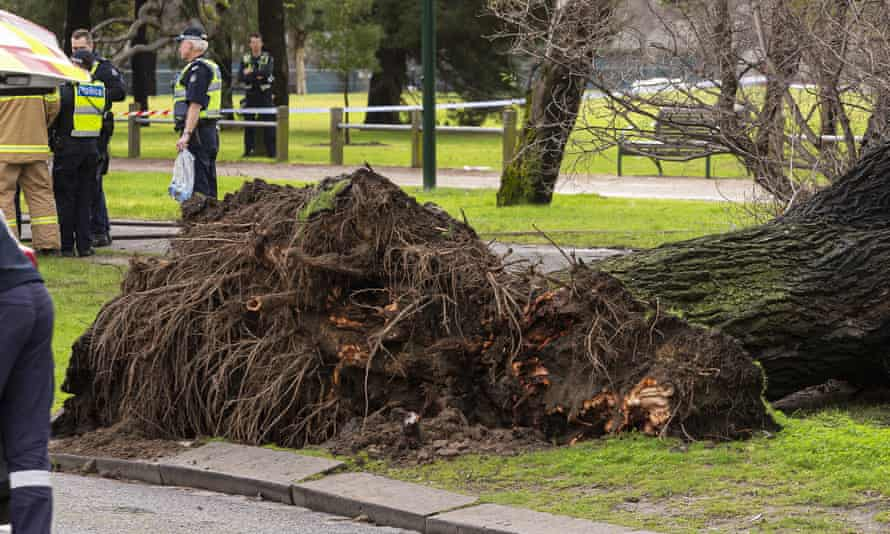 The roots of the tree in Princes Park