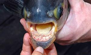 The teeth on the piaractus brachypomus.