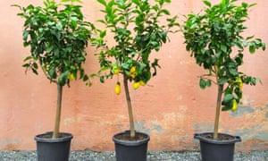 Lemon trees bearing fruit