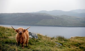 A highland cow on the Isle of Lewis, where the main industries are tourism, crofting, fishing and weaving.