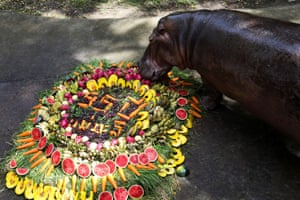 Chon Buri, Thailand Mae Mali, believed to be the country's oldest hippopotamus, eats fruits during her 55th birthday party at Khao Kheow zoo