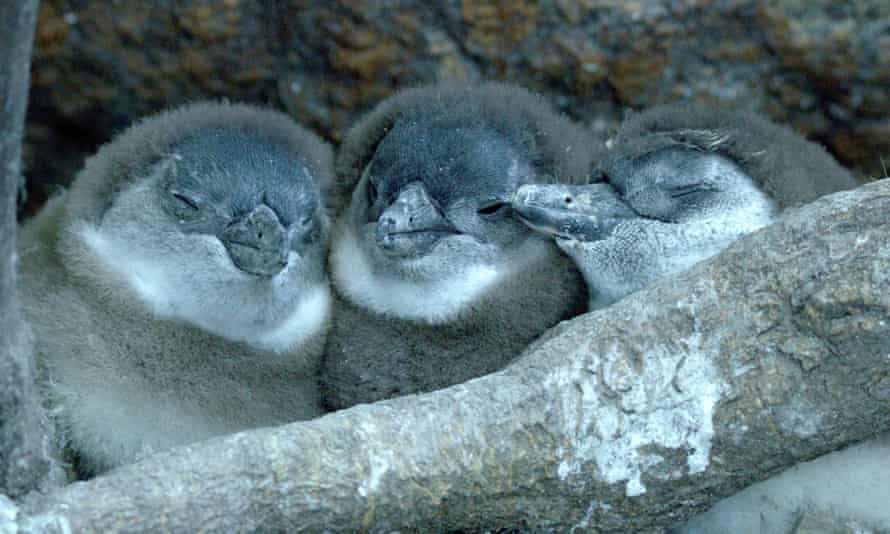 Chick chic ... Penguin Town.