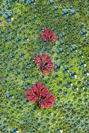 Botanical Britain category: Tim Hunt, 'Fairy Moss', Penryn, Cornwall, England
