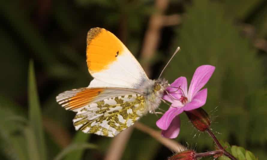 Male orange tip on herb robert