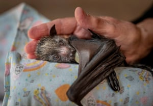 After a feed of special formula milk, an orphaned grey-headed flying-fox pup lies on a 'mumma roll', sucking on a dummy and cradled in the hand of a wildlife carer.