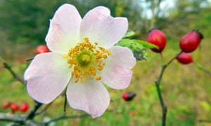 Flowering in November but bearing ripe hips too, a wild rose seems to have a confused biological clock.