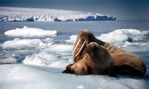A walrus mother and calf resting on an iceberg in Svalbard, Norway.
