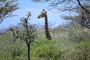 A Rothschild's giraffe browses on Ol Kokwe Island on Lake Baringo in Kenya
