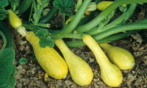 0163202b536b How to grow perfect courgettes and squash | Alys Fowler | Life and ...