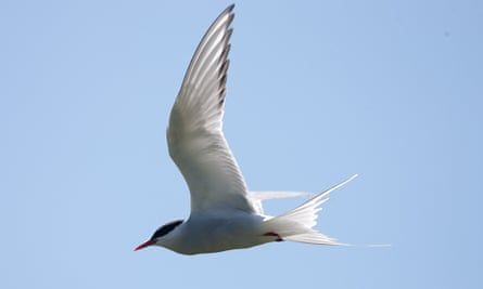 An Arctic tern, 'one of the UK's most elegant summer seabird visitors'.