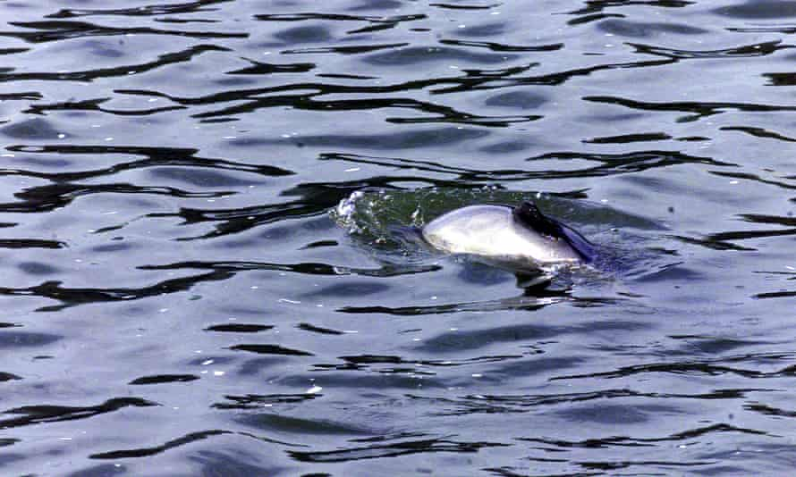 Porpoise in the River Thames