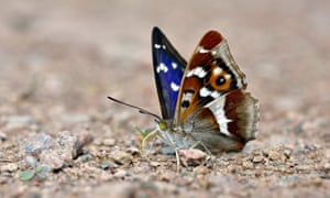 Purple emperor butterflies have also been rediscovered at Lodge Hill.