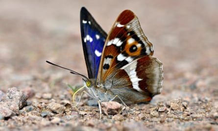 A purple emperor butterfly.