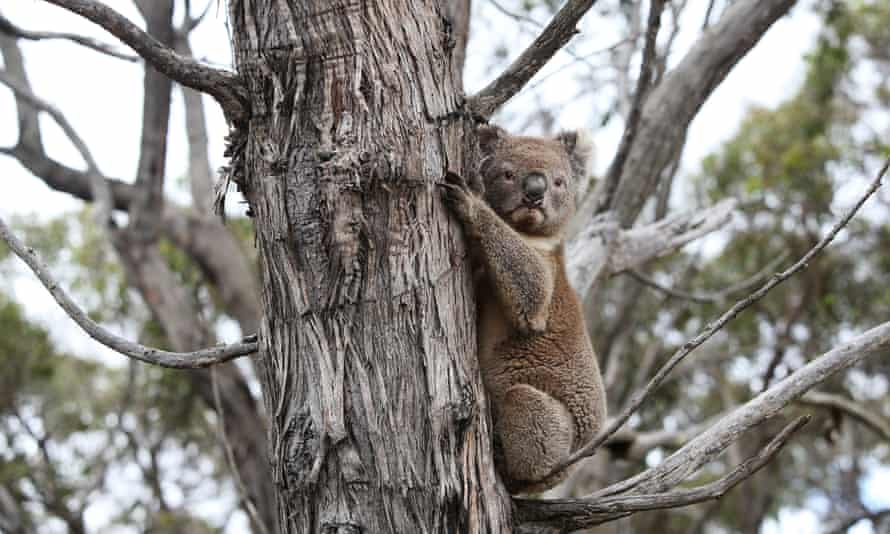 A koala affected by 2019-20 bushfires is released back into native bushland following treatment at the Kangaroo Island Wildlife Park