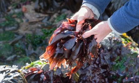 Man Foraging seaweed at Dulse on the Northumberland coastline.