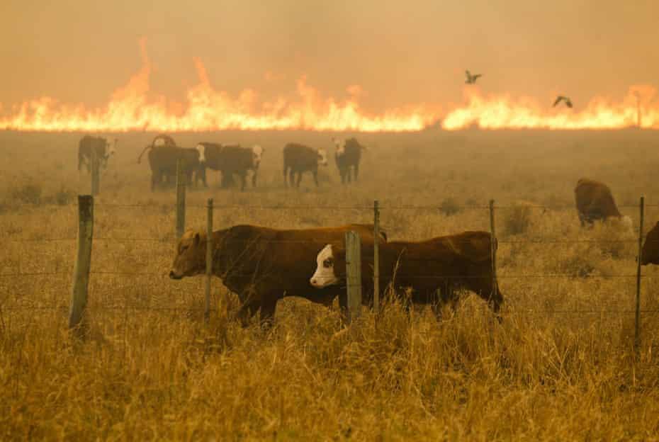 Cattle graze against a blazing backdrop in the Chaco region last week