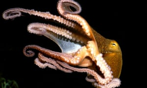 Among the invertebrates they're weird, amongst the molluscs they're weirder still. Where did octopuses come from?