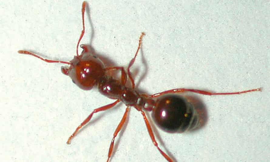 A red fire ant found in Brisbane