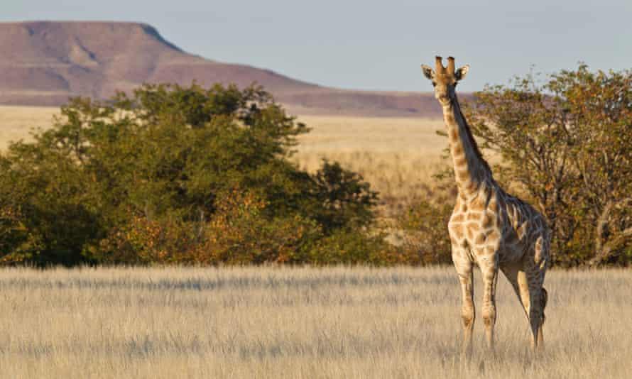 Giraffes are common in the Etosha national park.