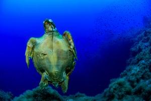 Dead loggerhead turtle