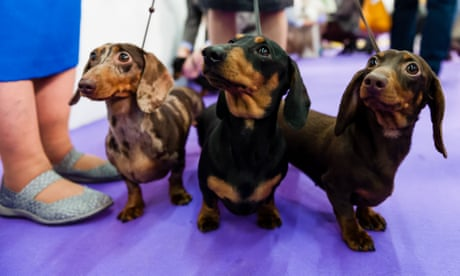 The Westminster Dog Show fails the animals it profits from