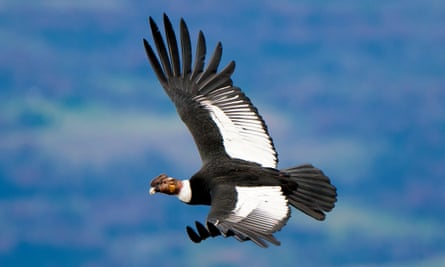 The Andean condor's skill at soaring is crucial for its scavenger lifestyle.