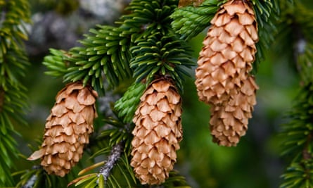 Sitka Spruce (Picea sitchensis) cones.