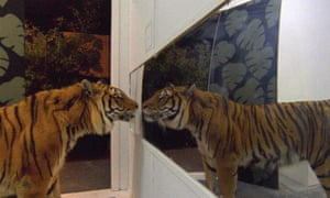 A tiger observes its own reflection in the 2014 documentary film, Ming of Harlem: Twenty One Storeys in the Air