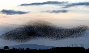 Murmurations … starlings on the Scottish borders.